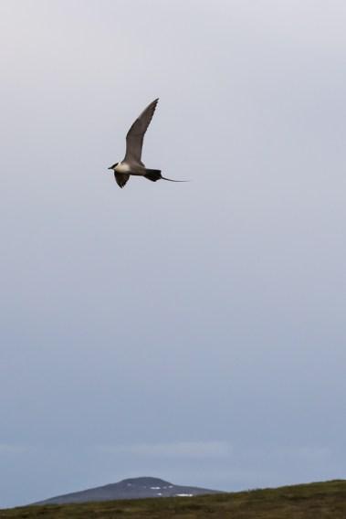 Tunturikihu - Stercorarius longicaudus