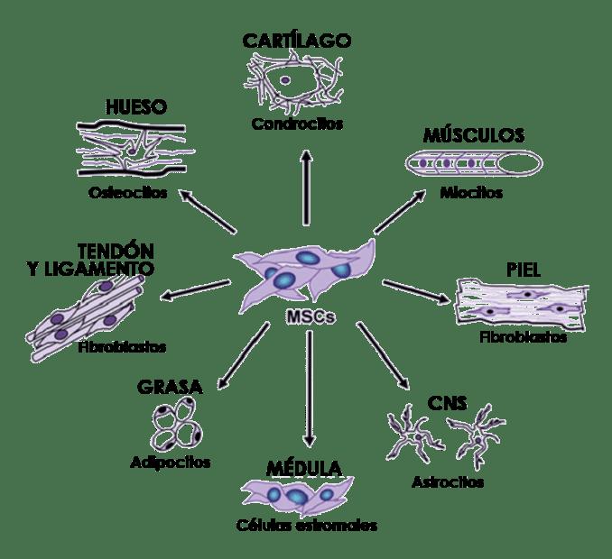 Células madre mesenquimales lupus