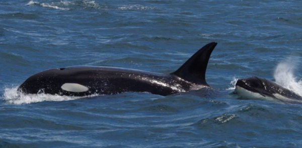 victoria bc orca sighting 2016