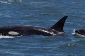 Victoria BC Orca Sightings 2016