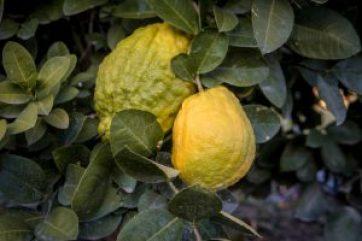 Big Citron lemon on branch of hyrid lemon tree. Big lemon type.