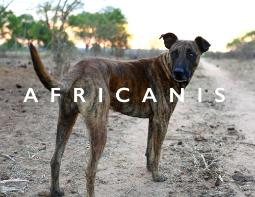 Medium Of African Dog Breeds