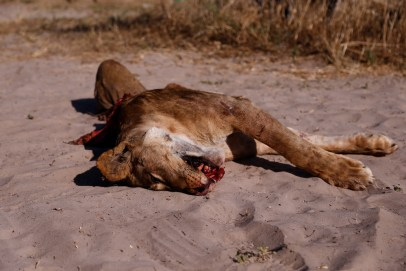 Road kill lion