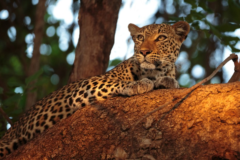 Leopard in a tree at sunset
