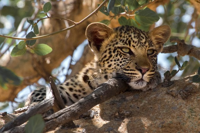 Leopard in a tree in Kruger National Park, South Africa