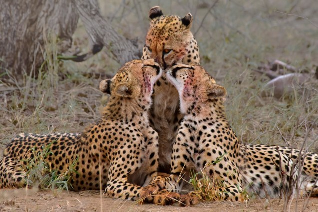 Cheetah mother and cubs in Kruger National Park, South Africa