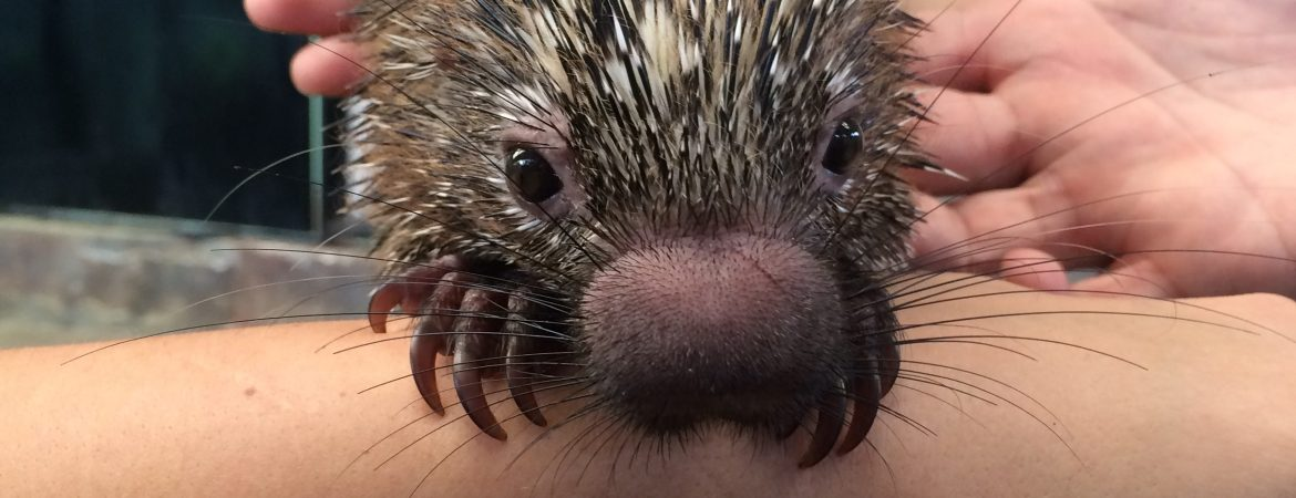 Playing with Porcupines ( and Sloths and Jaguars) at APPC in Panama