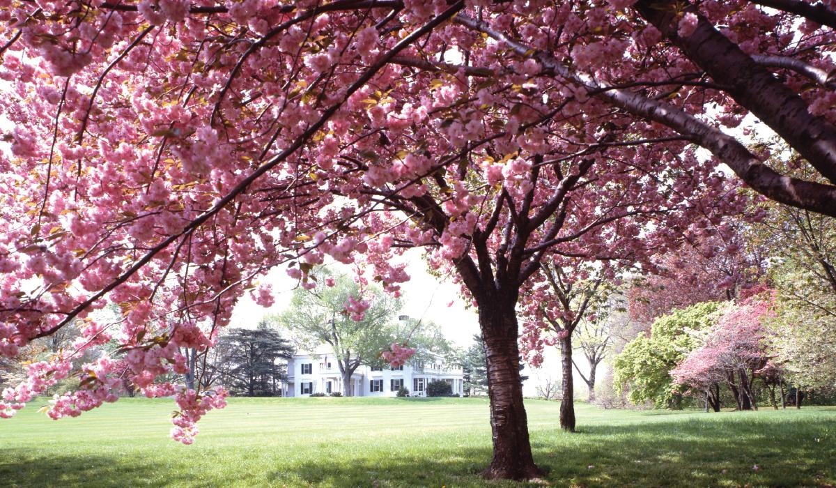 Considerable Flowering Cherry Garden Center Spring Flowering Trees Ornamental Cherry Tree Borers Ornamental Cherry Tree Care houzz 01 Ornamental Cherry Tree