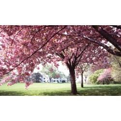 Small Crop Of Ornamental Cherry Tree