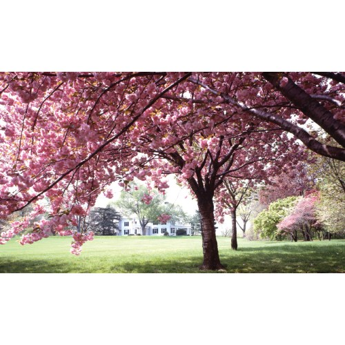 Medium Crop Of Ornamental Cherry Tree