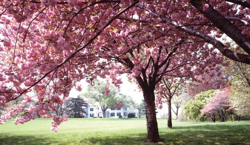 Large Of Ornamental Cherry Tree