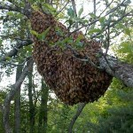My Swarm  – Maine Swarm Hotline to the Rescue