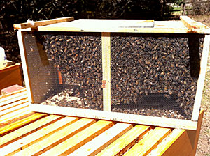 "3 Pound ""Package"" of Honeybees - Getting Ready to Install"