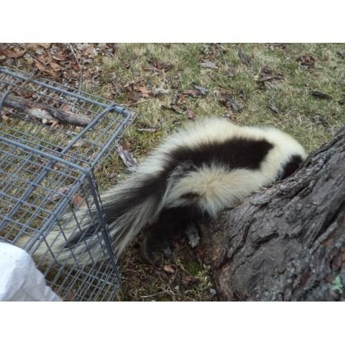 Medium Crop Of How To Get Rid Of Skunks