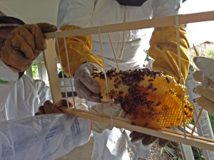 Capstone Ministries transfers the hive to a bee frame.