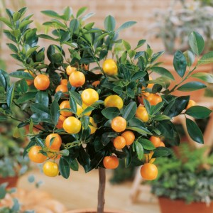 Calamondin Mini Citrus Tree - Dobies