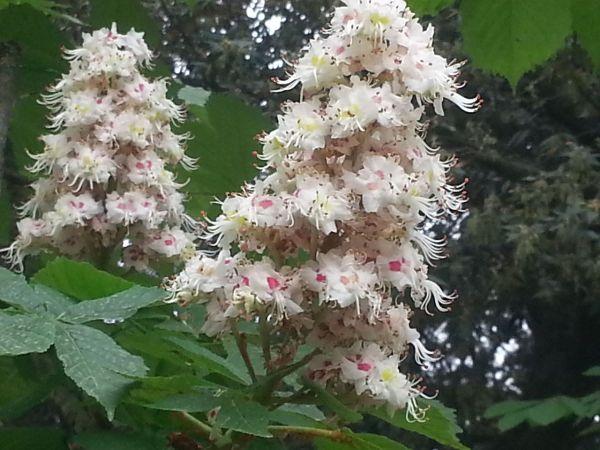1280px-Aesculus_hippocastanum_fiori