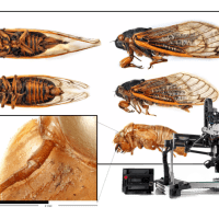 17year_cicada_withrig_1900