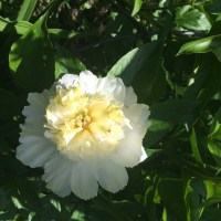 Peonies and time