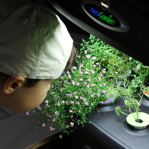 Mason smelling the Gypsophelia in the Aerogarden