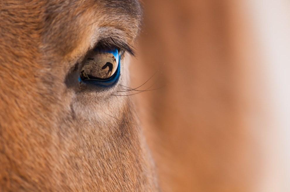 eye-przewalskis_horse1