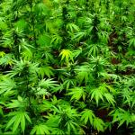 La Guardia Civil localiza 42 plantas de marihuana en una furgoneta