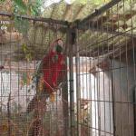 Decomisan un guacamayo rojo y otras 17 especies protegidas