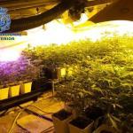 Desmantelado dos cultivos de marihuana con 350 plantas