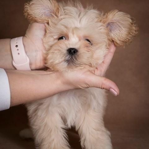 nick-maltipoo-dog-03