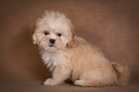 nick-maltipoo-dog-07