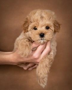 leon-maltipoo-dog-04