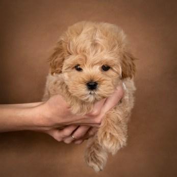 leon-maltipoo-dog-05