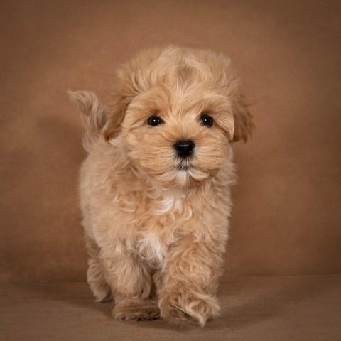 leon-maltipoo-dog-07