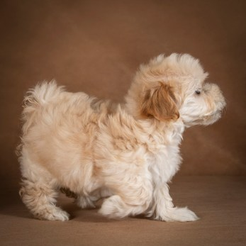 lilu-maltipoo-dog-01