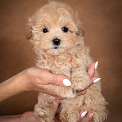linda-maltipoo-dog-08