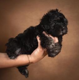 taffi-maltipoo-dog-04