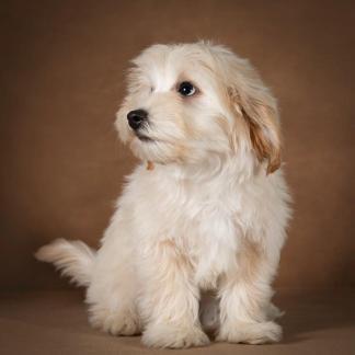 lev-maltipoo-dog-07