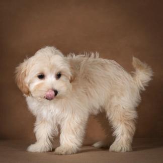 lev-maltipoo-dog-08