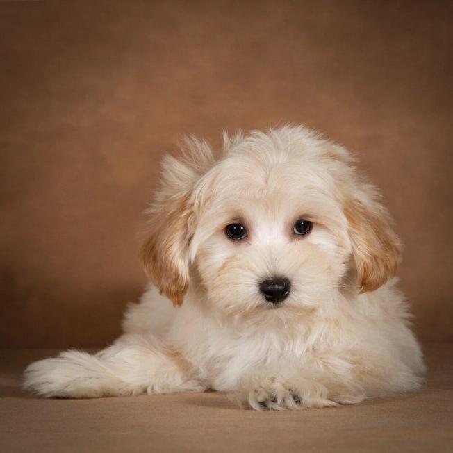 lev-maltipoo-dog-09