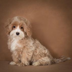 liana-maltipoo-dog-01