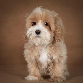 liana-maltipoo-dog-02