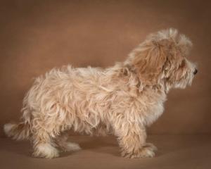 liana-maltipoo-dog-10