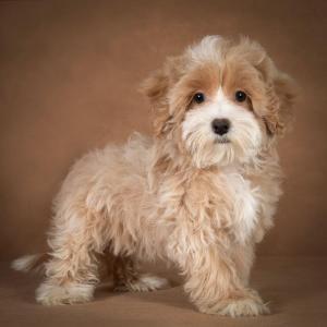 liana-maltipoo-dog-11