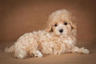 lisa-maltipoo-dog-07