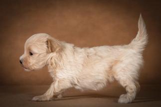 olesya-maltipoo-dog-05