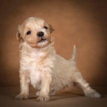 olesya-maltipoo-dog-06