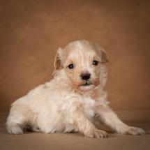 olesya-maltipoo-dog-07