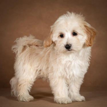 leopold-maltipoo-dog-04