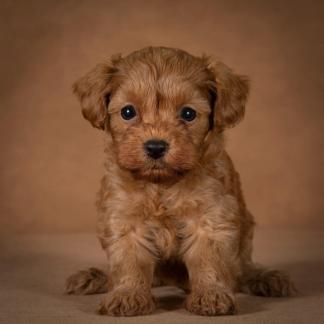 nelson-maltipoo-dog-07