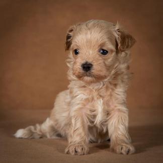 ofelia-maltipoo-dog-07